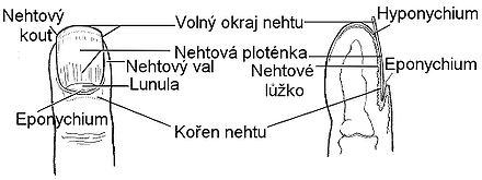 anatomie_konce_prstu.jpg